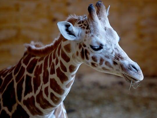 Tajiri, the giraffe baby of April and Oliver, is celebrating