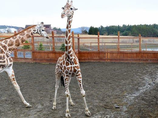 Tajiri, the giraffe baby of April and Oliver, is celebrating