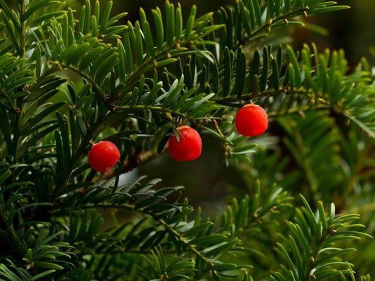 Yew Tree Berries