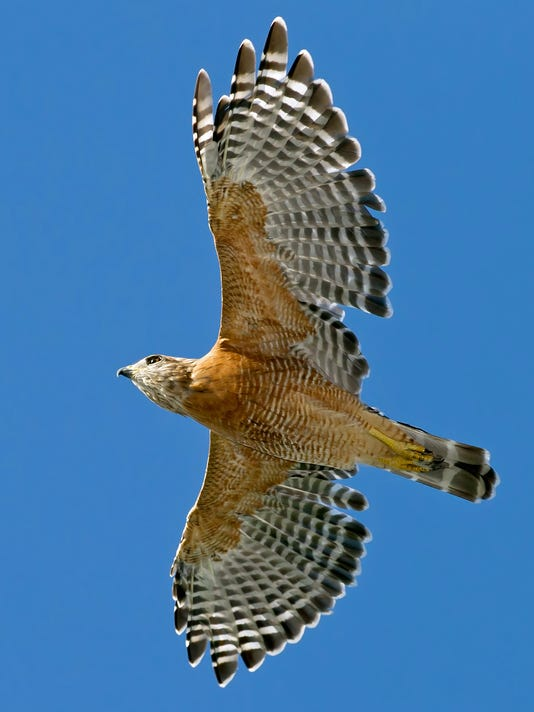 Red-Shouldered-Hawk-2.jpg
