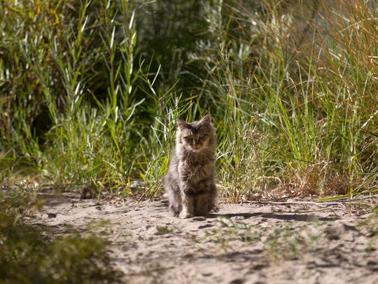 A feral cat sits on the banks of the Animas River Wednesday