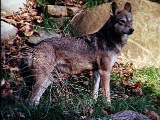 redwolves