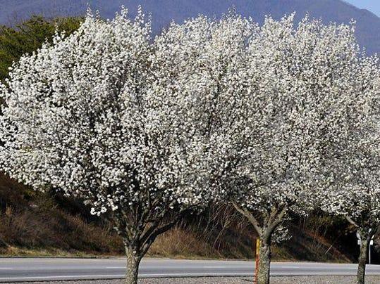 635947689282670579-Bradford-Pear-trees---Copy---Copy