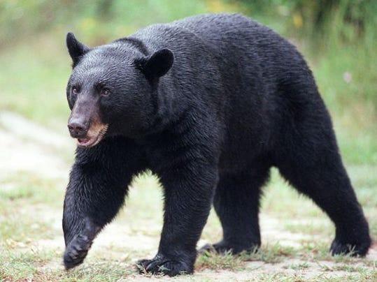 bear attacks hunter in minnesota
