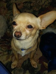 Tiny is a 9-pound, male Chihuahua mix who is house trained. He is about 2.5 years old. His adoption fee is $75. Call SNIPPP at 336-6006. Go to www.snippp.org.