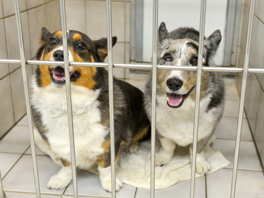 Welsh corgis Cammy and Gus seem to smile out from their kennel while boarding Tuesday, July 19, at Sam & Danni's Pet Resort and Spa.