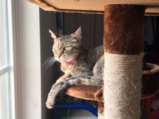 Surrendered to Lollypop Farm when her owner went to live in a nursing home, 11-year-old Miss CheckMeowt is now enjoying the comforts of home.
