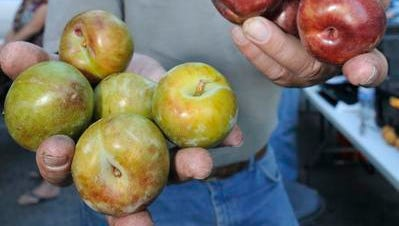 Citrus grower Jim Van Foeken shows off Flavor Supreme and Dapple Fire plums during the Thursday night farmers market in downtown Visalia.