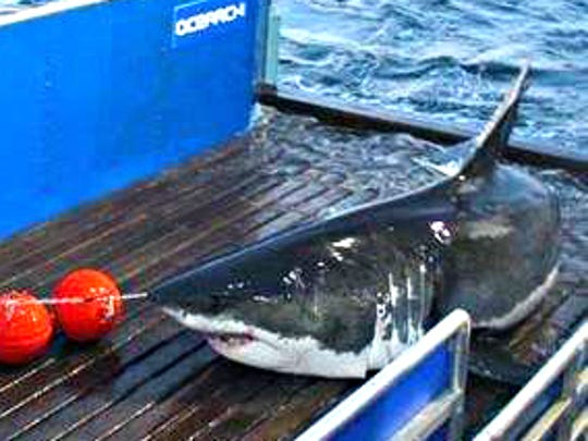 Mary Lee, a white shark, when she was tagged by OCEARCH