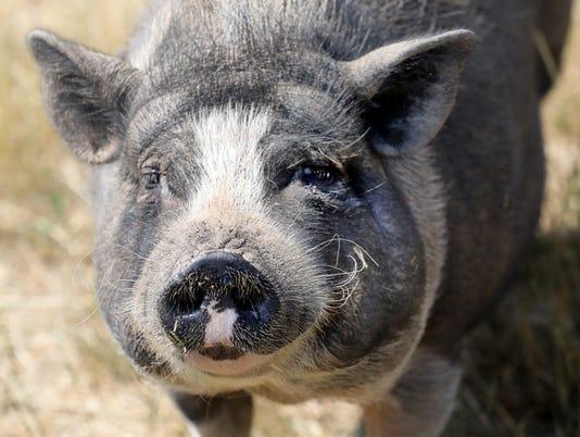 636664037114997188-Pigs-03.jpg