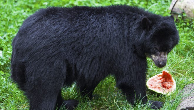 The Nevada Department of Wildlife cautions residents to harvest their fruit as quickly as possible and not allow it to become an attraction for the bears.