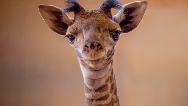 A newborn baby Masai giraffe, the daughter of Phoenix Zoo giraffes Imara and Miguu, spends July 4, 2018, in the giraffe barn.