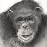 A 2010 photograph of a chimpanzee named Flo. Flo is said to be about 58 years old, she is the oldest chimp from the Alamogordo Primate Facility at Holloman Air Force Base.
