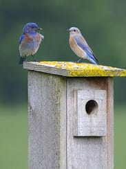 A pair of western bluebirds sit on top of a nest box