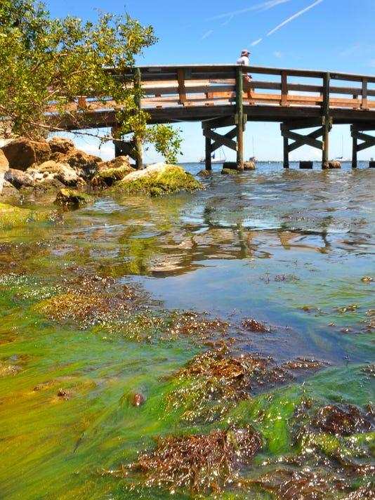 Manatees eating seaweed