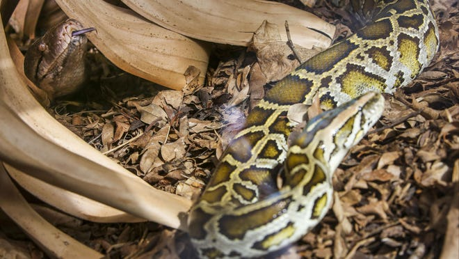 (left)14 year old Reticulated Python, Kaa, sticks her head through some leaves to get a sniff of Sammie. At 19 feet long and tipping the scale at over 190 pounds, Kaa found her new home interesting and spent the morning slithering around her new habitat. She will share her enclosure with Sammie a 6 year old, 40 pound, 10 feet long, Burmese Python. Sammie is a new addition to the Zoo. Naples Zoo opened a python exhibit to better educate the public about the impacts of invasive species. Burmese pythons are one of the most damaging invasives we have -- eating endangered species and competing with them for space and food. June 12, 2015.