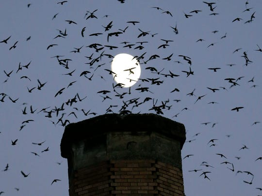 The moon is visible in the background as a multitude of migratory Vaux's Swifts flock to roost for the night inside a large, brick chimney at Chapman Elementary School.