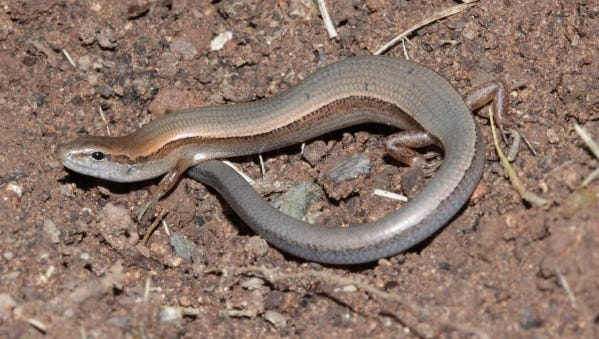 The Little Brown Skink has exceptionally tiny legs and a long, somewhat slender tail.