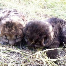 Lion Cubs saved from wildfire