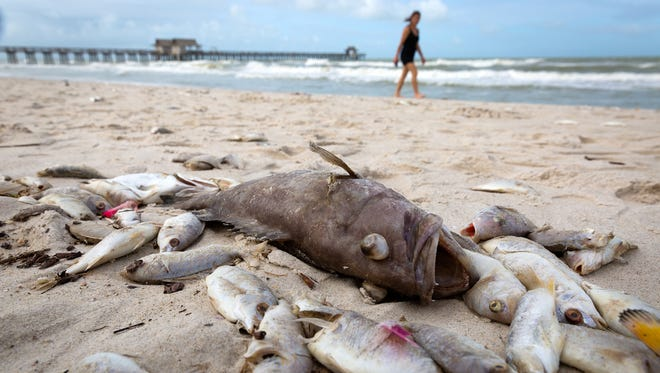 Dead fish litter the beach near the Naples Pier on Friday, Oct. 7, 2016. Naples officials attributed the large fish kill to a combination of red tide and local effects of Hurricane Matthew.