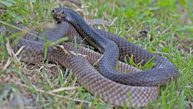 The Eastern coachwhip is one of the largest snakes in North American, growing 4-6 feet in length.