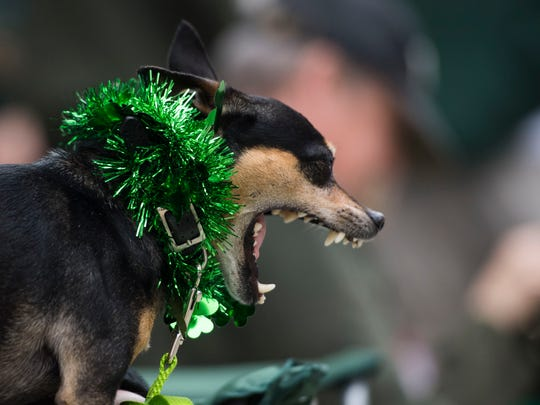 Dog Stewy sits on Patty Casey's lap during Knoxville's St. Patrick's Day festivities March 17, 2018.