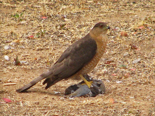 A Cooper's hawk clutches a just-caught white-winged dove.