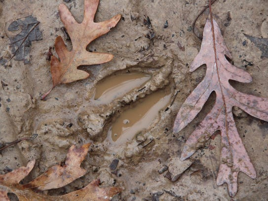 A white-tailed deer track gathers water on Saturday