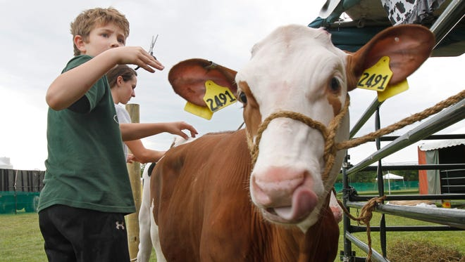 Darren Goodman, 11, Spencerport, does some last minute trimming and prepping on his calf Olaf as he prepares for the 4-H Dairy Show junior showmanship class on the opening day of activities at the Monroe County Fair Thursday, July 31, 2014 at Northhampton Park in Ogden.