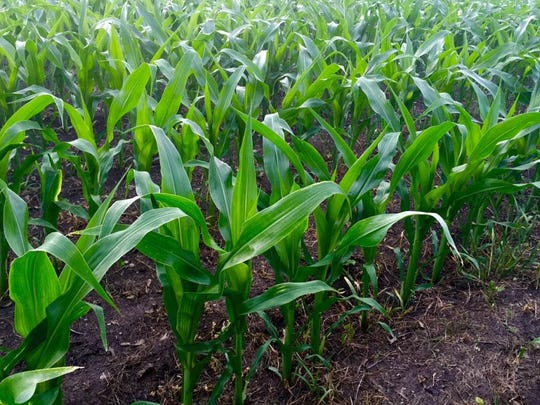 Information supplied by farmers in early June for the USDA crop estimates appears to be flawed due to including acres they intended to plant, but were thwarted from doing so due to wet field conditions across the entire Corn Belt.