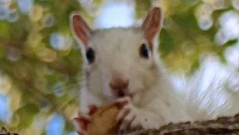 A white squirrel eats a peanut in a tree near Pine Tree Drive in Indialantic.