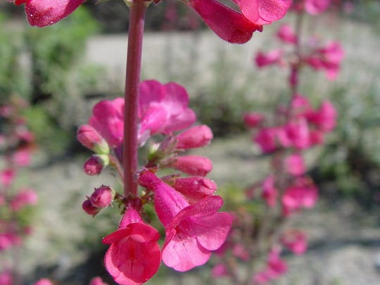 The tall stalks of native penstemons are among the most charming of all native perennials.