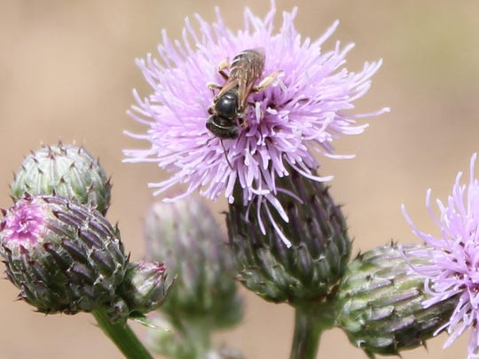 A honeybee pollinates milk thistle at Sprout Creek Farm.