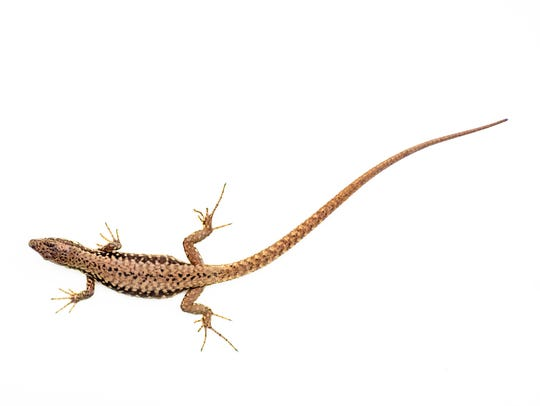 As with many species, the male Lazarus lizard usually