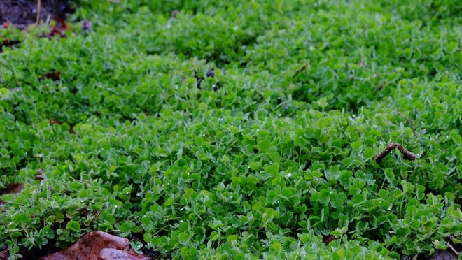Crimson clover cover crop protects a bed in the winter.