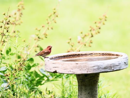 Male House Finch on a Birdbath in Flower Garden