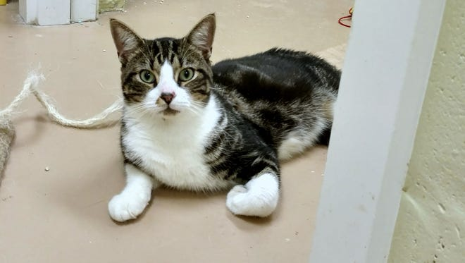 I'm a young handsome boy who was left outside to fend for himself. I like people of all ages and other cats, too. I can't wait to meet a new family and begin my brand new life.