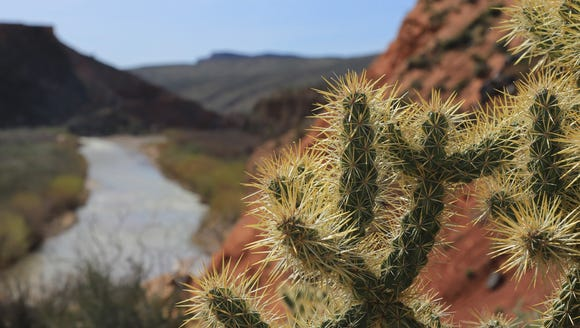A cholla stands on a ridge above the Virgin River in