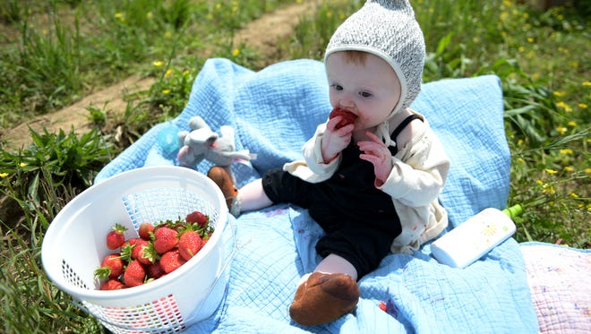 Eliana Monroe, 9 months old, eats strawberries while her family picks more at Green Door Gourmet farm's u-pick operation.