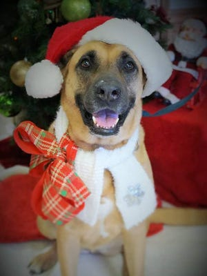 Gypsy has lived at the Brevard Humane Society for almost two years. Wouldn't you want to give her a forever home for Christmas?
