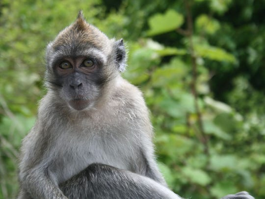 This long-tailed macaque from Mauritius is one of the species expected to be housed at the newest Hendry County primate facility.