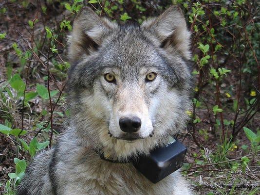 Oregon Wolves
