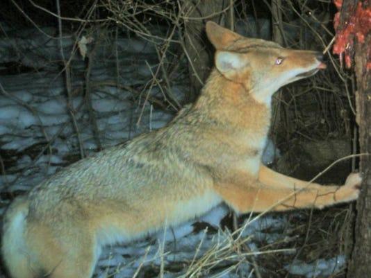 a1.main.coyote3.jpg