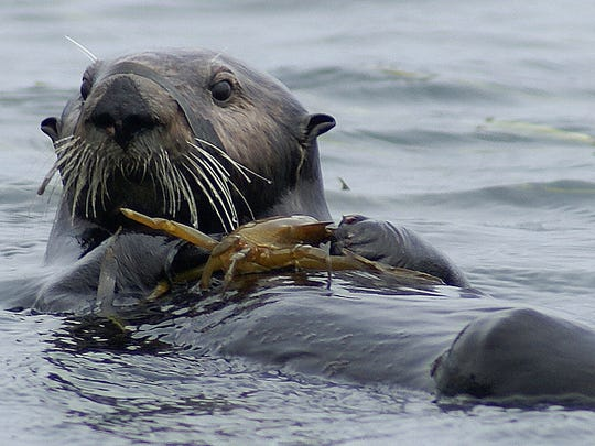 APA sea otter eats a crab in Elkhorn Slough National Estuarine Research Reserve in this 2012 photo.