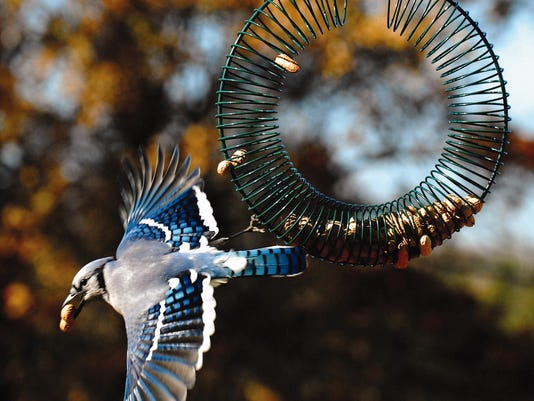 636432337844474642-bluejay-on-wreath.jpg