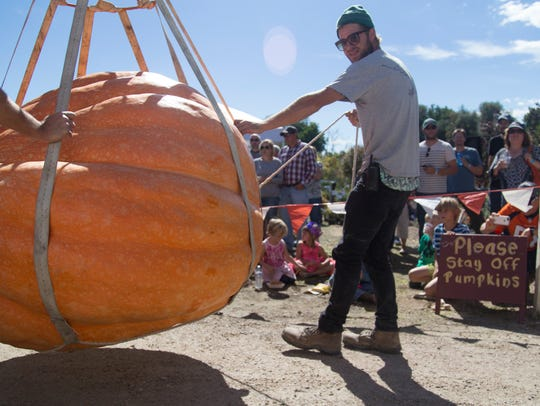 A giant pumpkin is carried by a forklift to be weighed