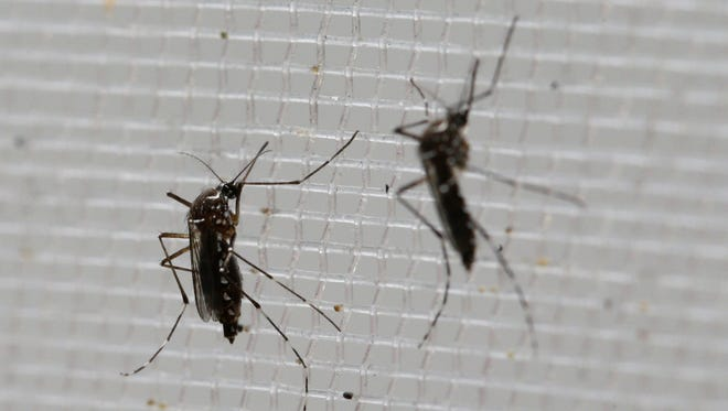 The Aedes aegypti mosquito is a vector for the spread of the Zika virus.