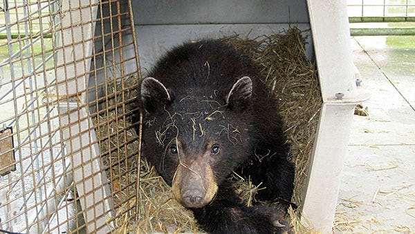 A black bear cub was transferred to a Pennsylvania zoo Thursday night.