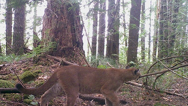 Cougar photographed in a wooded area of Oregon.