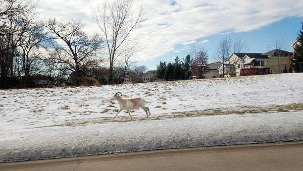 Colleen Sunderland provided this photo of a goat she saw running loose in January 2016 near Oakdale Boulevard and the University of Iowa's Research Park.
